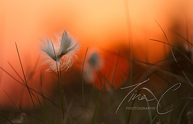 Bog Cotton Sundown