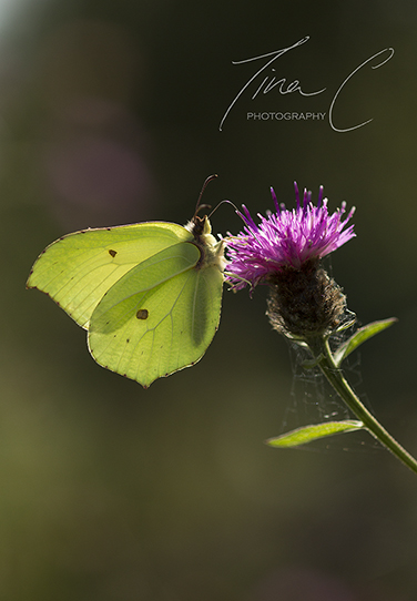 Brimstone on Knapweed