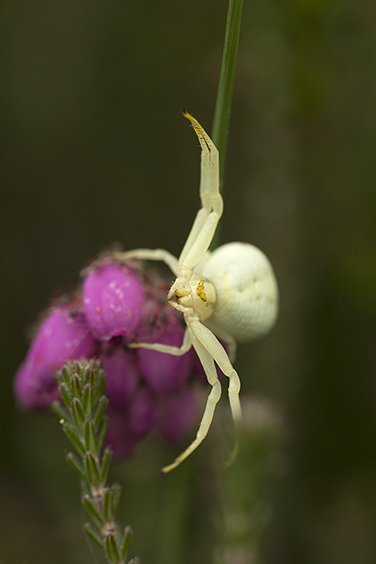 Crab Spider Dance